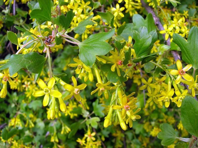 Смородина золотистая: фото и описание сорта, отзывы садоводов, урожайность
