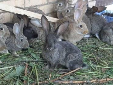 Крольчиха бросила крольчат: причины, что делать, как выкормить самому