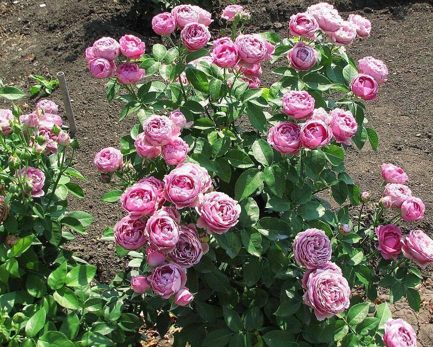 Как вырастить розу мисти баблс