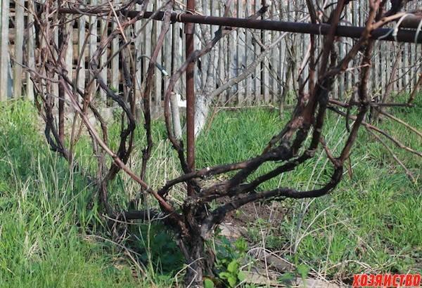 Почему пропадает виноград