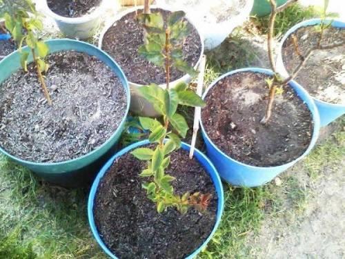 Размножение яблони черенками