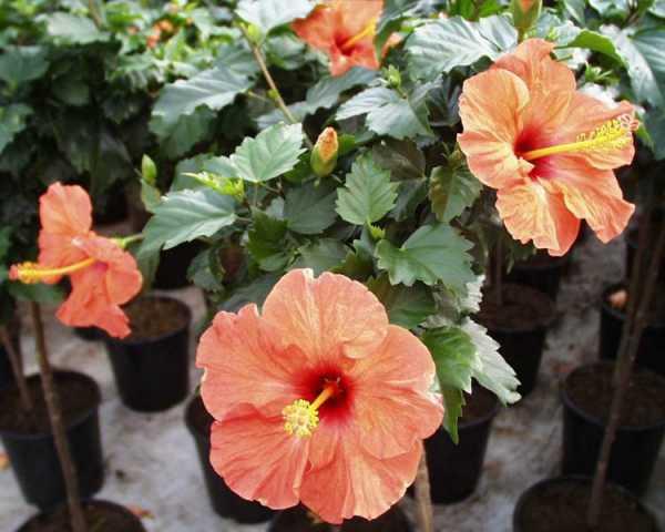 Гибискус – китайская роза: виды, уход, выращивание и размножение в домашних условиях. гибискус — цветок смерти, почему: приметы и суеверия. все о правильном поливе и выращивании гибискуса: как дома, так и на участке.