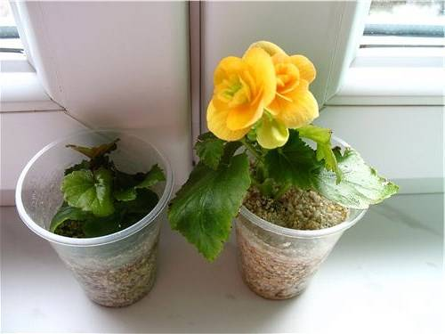 Бегония элатиор: выращивание и уход в домашних условиях