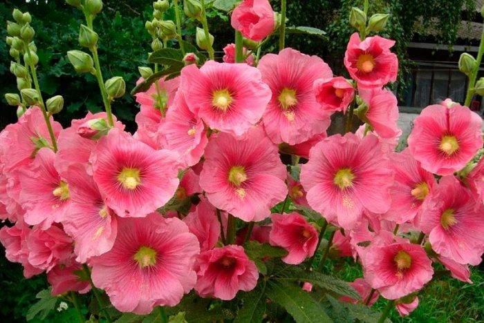 О цветке мальва: лечебные свойства и характеристики, уход, выращивание