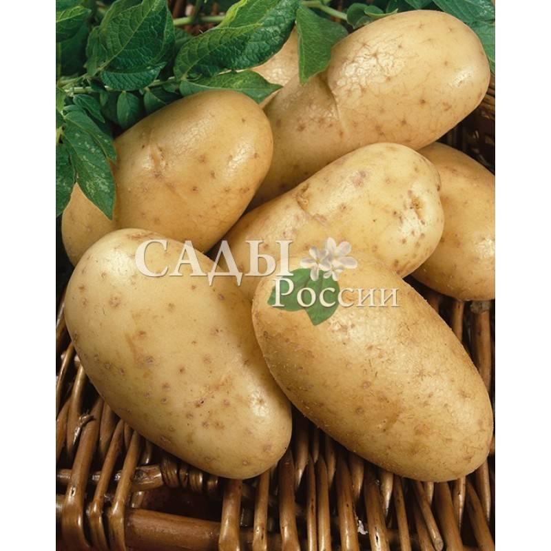 Сорта картофеля, выведенные в белоруссии: характеристика и описания с фото