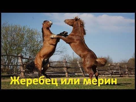 Как называют кастрированного коня