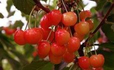 Какие сорта вишни лучше всего растут в сибири и на урале