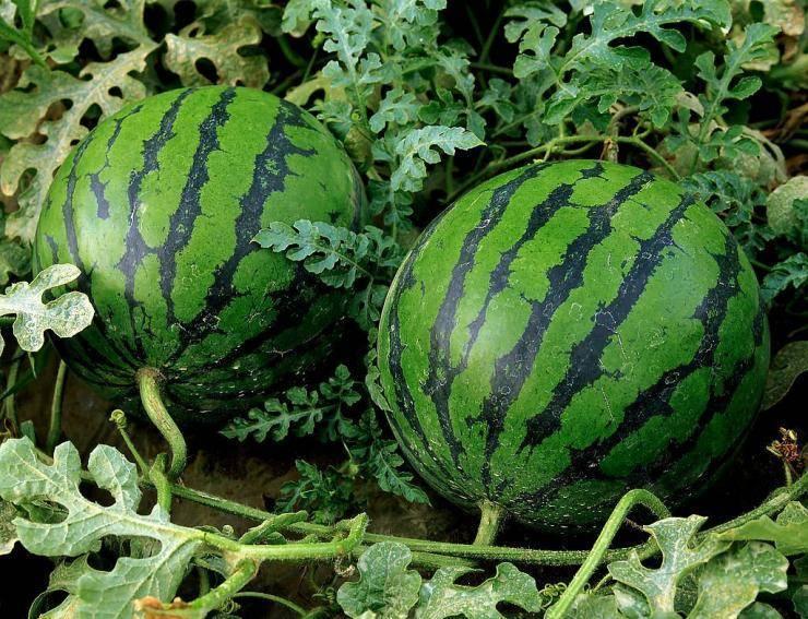Сроки посева семян овощей на рассаду