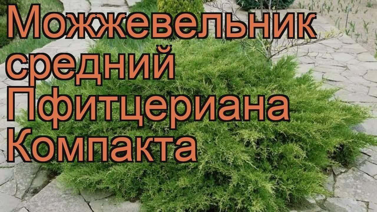 Можжевельник средний (38 фото): описание «ауреа» и «голд стар», «глаука» и «компакта», «минт» и других сортов можжевельника пфитцериана