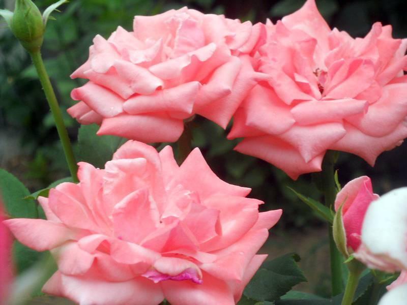 Установлены причины, почему не цветет роза