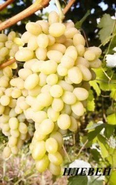 Плевен сорт винограда