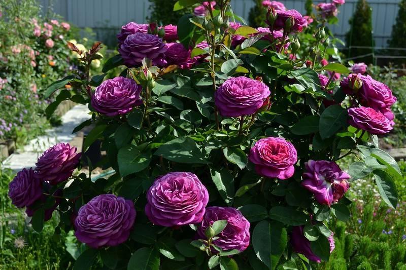 Роза хайди клум (heidi klum) — характеристики флорибунды