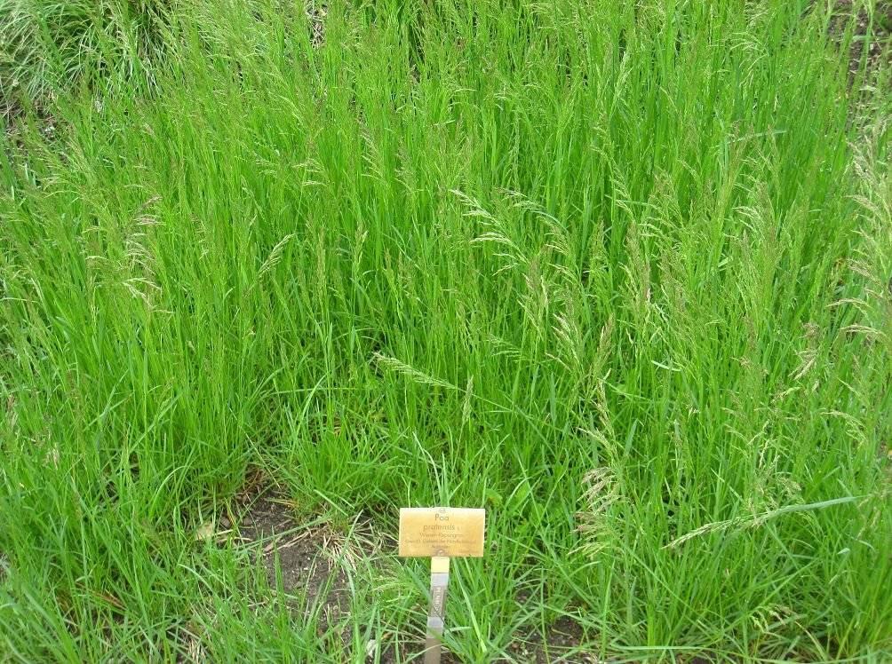 Трава мятлик (роа)