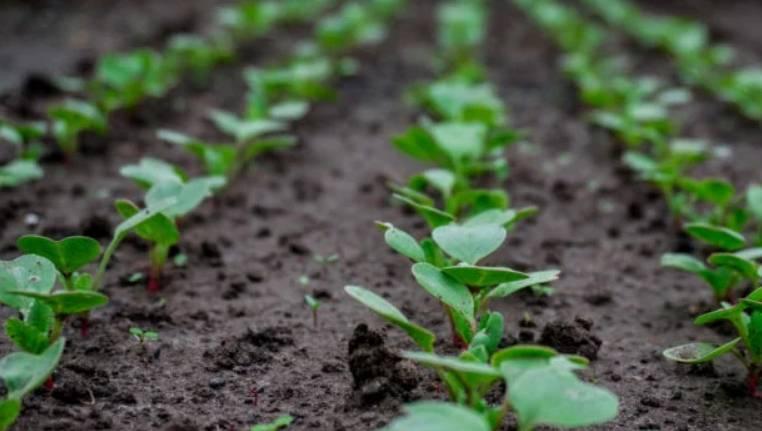 Какие существуют способы удобрений для редиски и чем подкармливать ее после всходов?