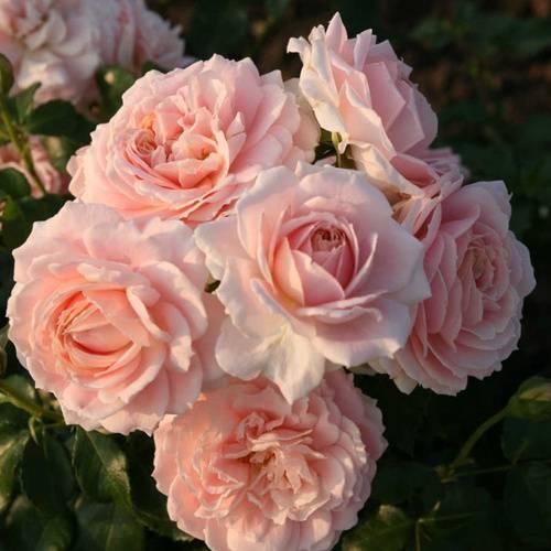 Лучшие сорта парковых роз для подмосковья
