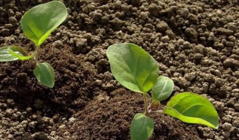 Земля для посадки баклажанов: выращивание на открытом грунте