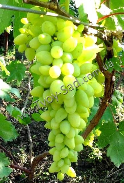 Солнечная ягода удивительного вкуса — виноград «долгожданный»
