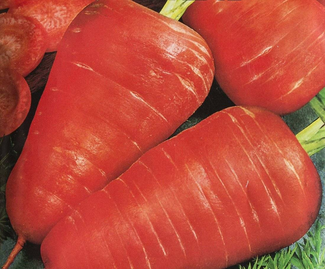 Когда сажать морковь в подмосковье, в ленинградской области, в средней полосе, какой последний срок, сеют ли в открытый грунт под зиму, а также отличия в выращивании