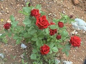 Когда сажать розы осенью, и как не погубить саженцы