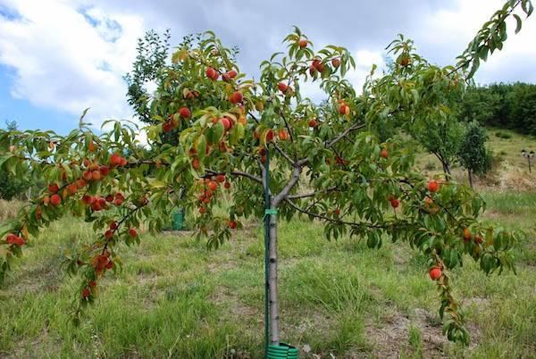 Описание и характеристика роста и плодоношения абрикоса