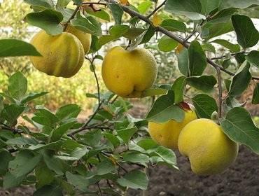 Листья айвы лечебные свойства