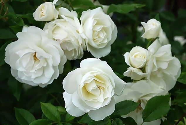 Выращивание плетистой розы типа climber пале рояль: описание сорта, как ухаживать