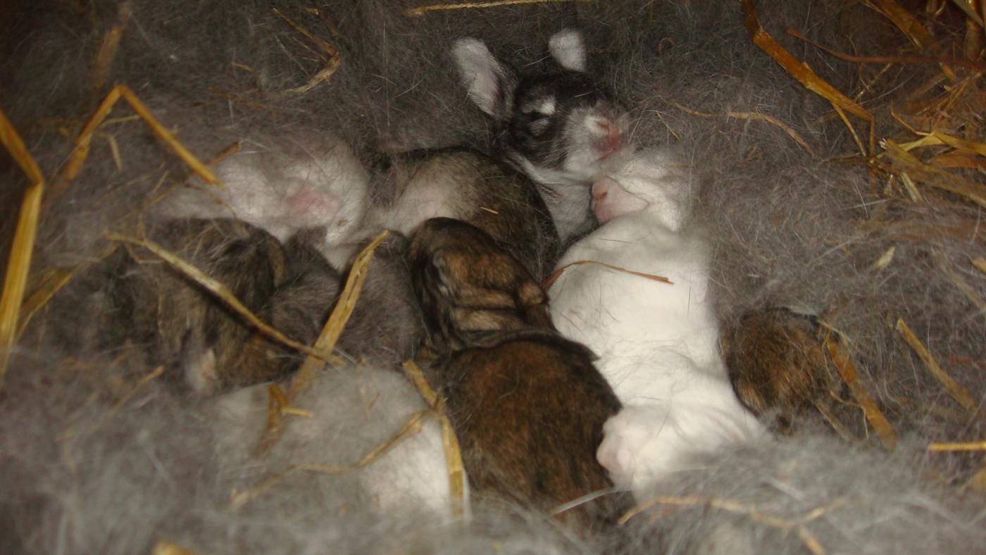 Все самое интересное о новорожденных крольчатах