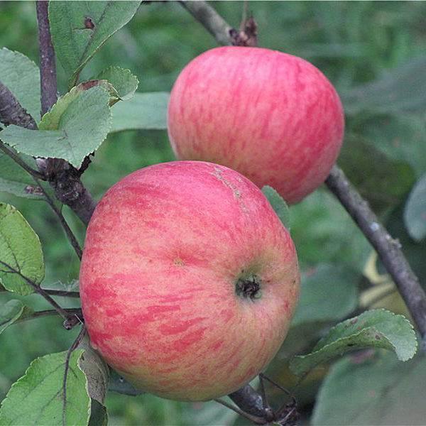 Сорт яблони орловский пионер