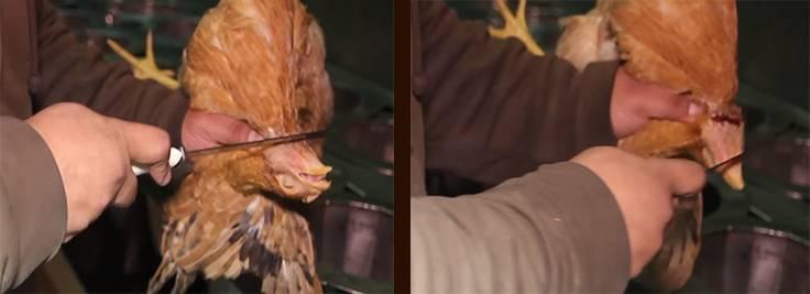 Как правильно убить курицу в домашних условиях?