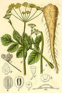 Пастернак растение: польза и вред, применение. пастернак: лечебные свойства