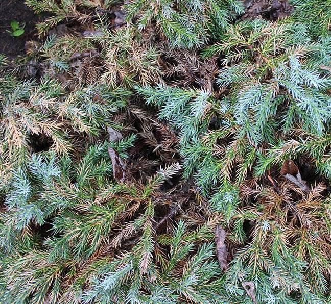 Почему можжевельник пожелтел после зимы и как можно спасти растение? пожелтели можжевельники: что делать? обзор причин и методов борьбы сохнет можжевельник что делать.