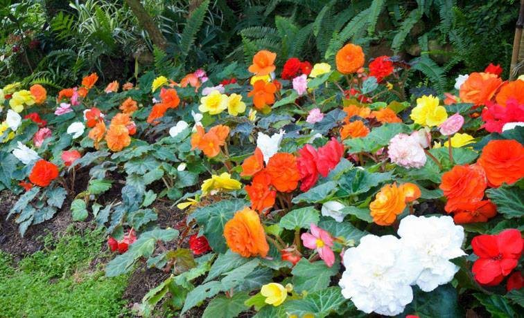 Махровая бегония вечноцветущая — уход в домашних условиях