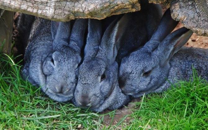 Кокцидиоз у кроликов, все о самой распространенной болезни