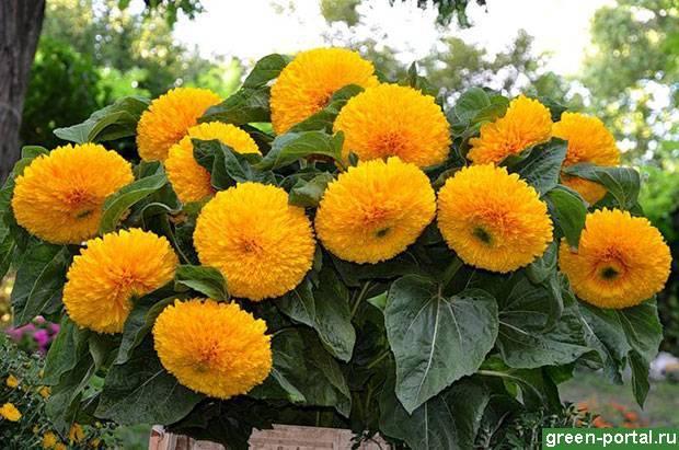 Выращивание декоративных подсолнухов из семян