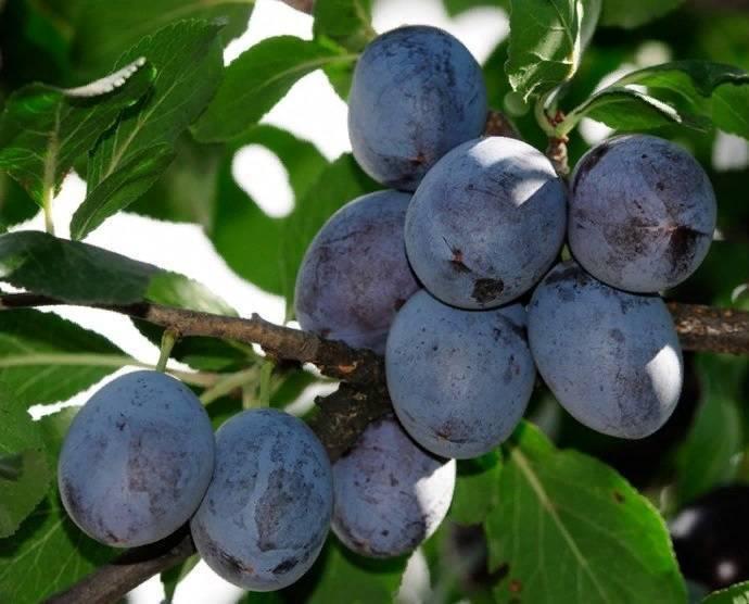 Сливо вишневый гибрид самоцвет