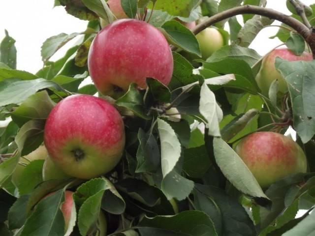 Высокая урожайность при небольшом росте — сорт яблонь братчуд