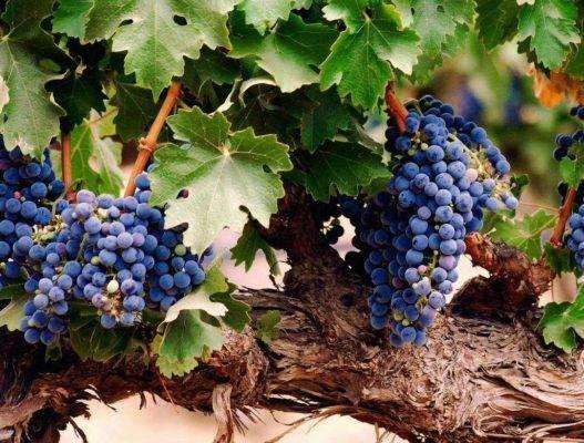 Вредители и болезни винограда: симптомы, причины, лечение, профилактика