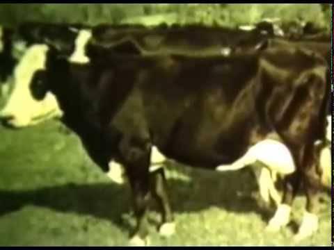 Ярославская (порода коров)