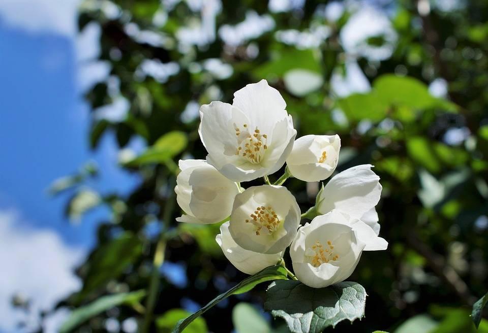 Как вырастить садовый жасмин на участке: правила пересадки, цветение