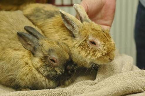 Миксоматоз у кроликов: признаки и лечение болезни, профилактика