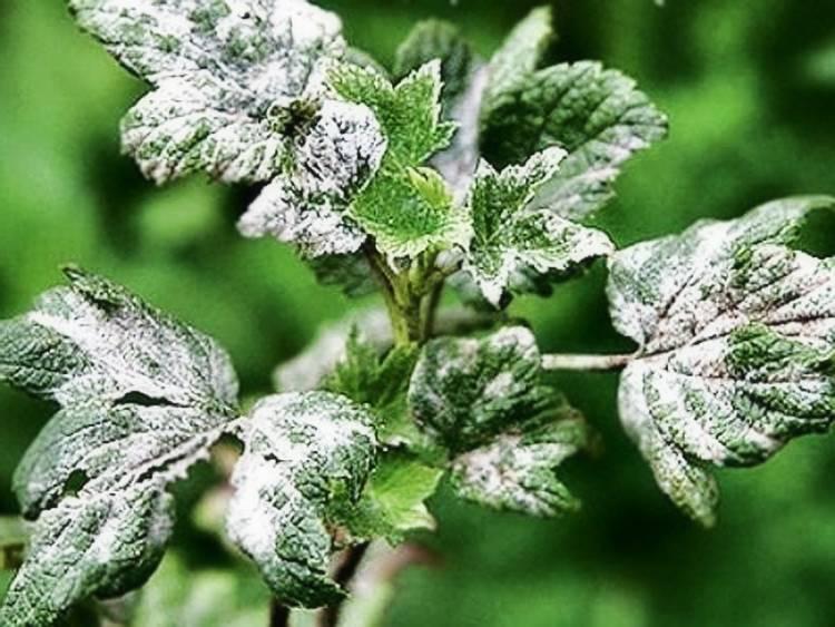 Болезни малины – серая гниль, язвенная пятнистость, курчавость, израстание, мозаика и другие заболевания