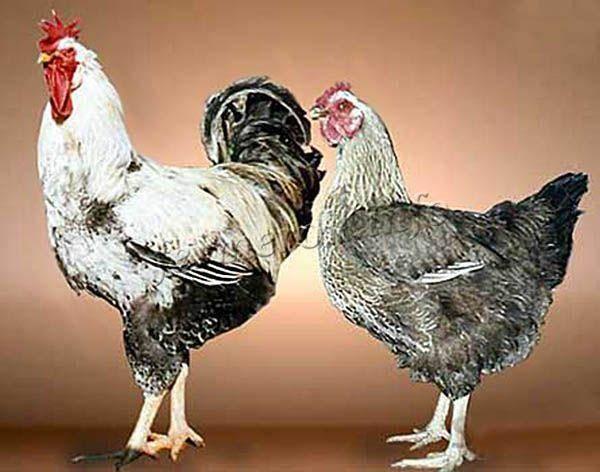 Юрловская голосистая порода кур, описание, фото, особенности