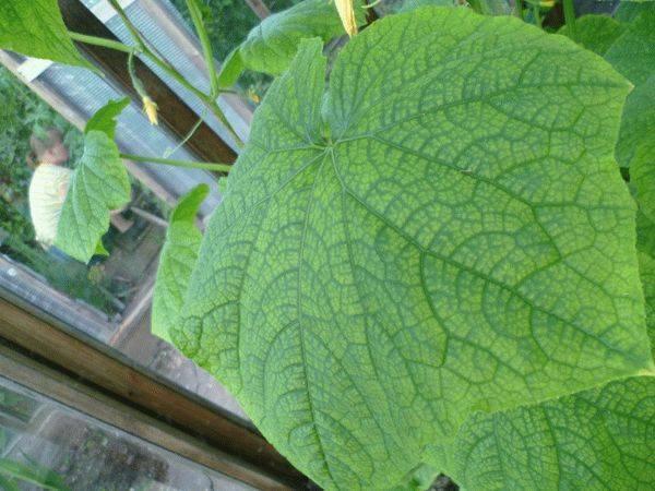 Чем подкормить огурцы, если желтеют листья: удобрения