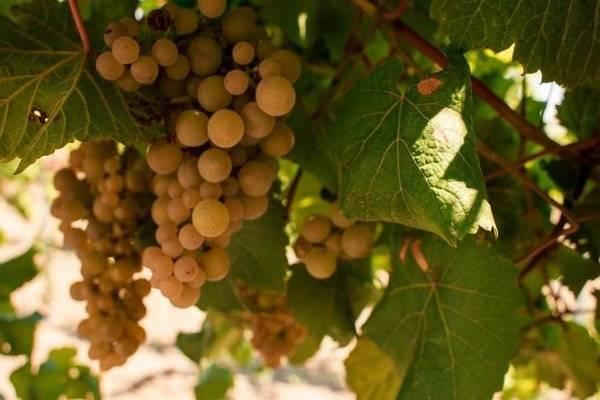 Виноград платовский: описание сорта и его фото, особенности выращивания, история выведения, болезни и вредители