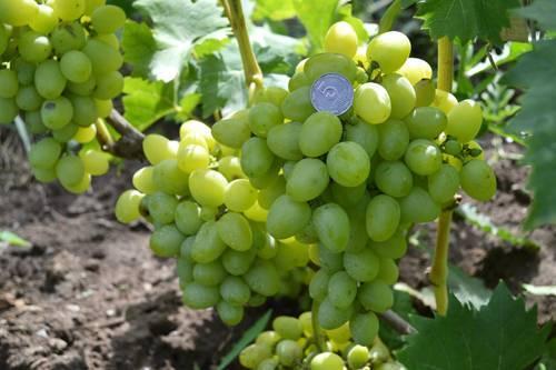 Отменный виноград надежда азос: описание сорта, его характеристики и фото