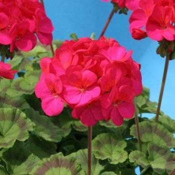 Королевская герань: сорта, выращивание, размножение