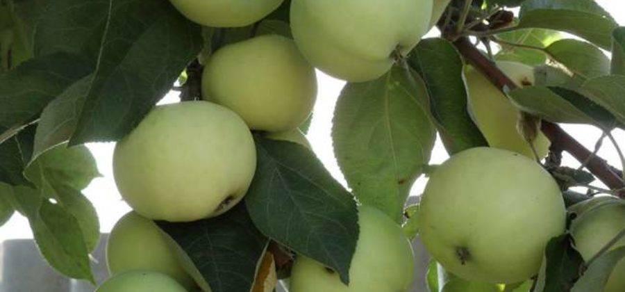 Что делать если у яблони замерзла макушка. что делать если подмерзли яблони