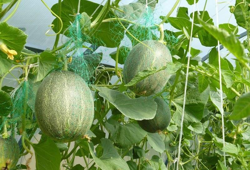 Все о выращивании дыни в теплице из поликарбоната
