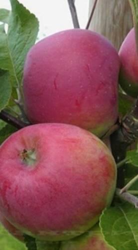 Лучшие красные сорта яблок с описанием и фото