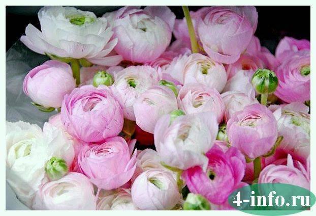 Пионовидные розы (47 фото): сорта красных и белых роз, похожих на пионы, названия плетистых и кустовых пионовидных роз